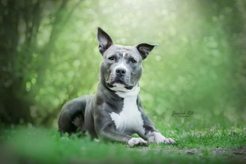 Americain staff terrier photographe dunkerque animaux