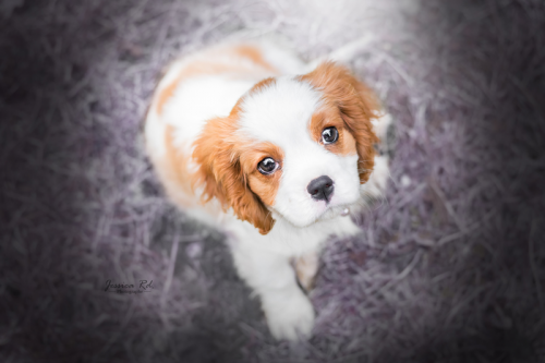 Bebe cavalier king charles photo fort de petite synthe