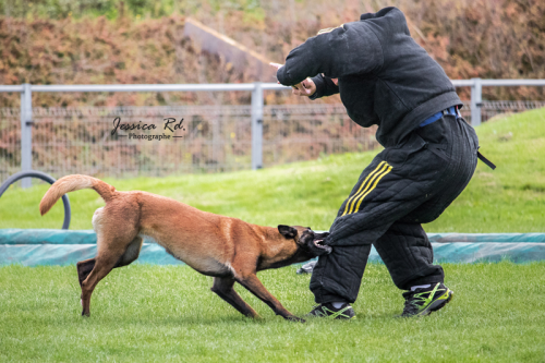Berger belge malinois en mondioring photo club canin grande synthe