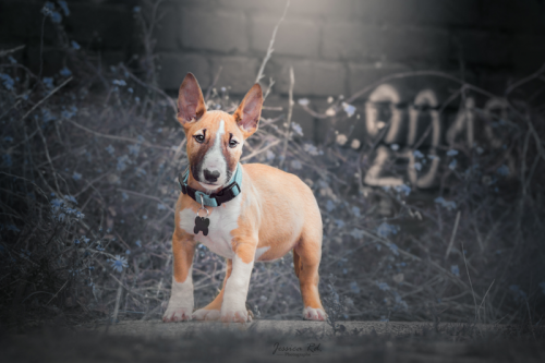 Bull terrier photo sur dunkerque urbex 1
