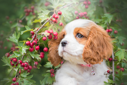 Cavalier king charle 2 mois photographe chiot dunkerque 1