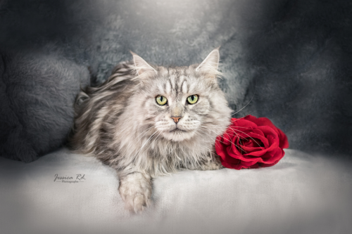 Chat photo maine coon