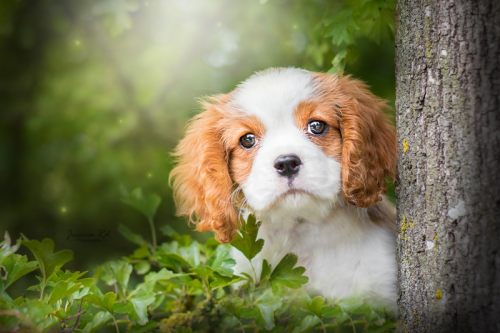 Chiot cavalier king charle fort de petite synthe