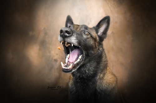 Jessica rd photographe studio chien berger malinois action dog1 1