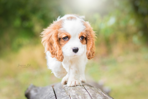 Le roi chiot cavalier king charle petite synthe dunkerque