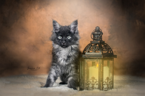 Maine coon elevage dunkerque photographe chat et chaton png