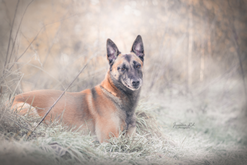 Malinois en hiver photographe animaux dunkerque