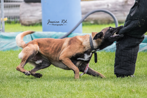 Malinois ring sport canin photographies