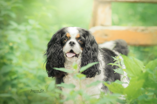 Maya cavalier king charles chien photographe dunkerque