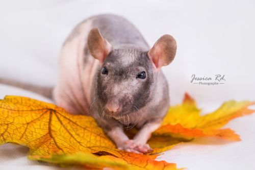 Rat nu photographies region dunkerque animaux