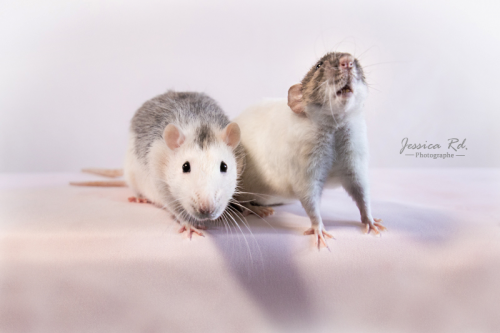 Rats photo en studio photographe dunkerque animaux