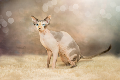 Sphynx photo elevage chat dunkerque