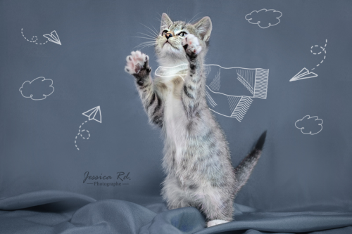 Studio photographe dunkerque chaton chat elevage animaux