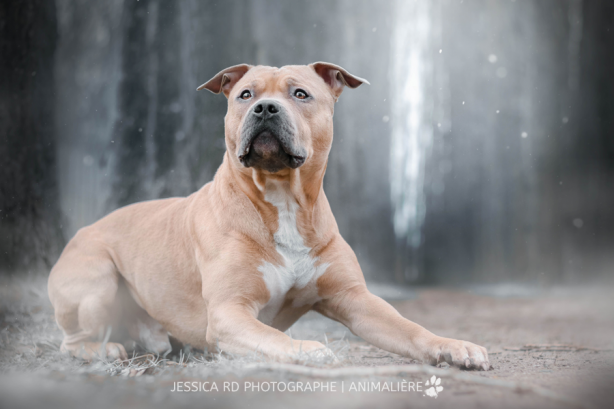 American staffordshire terrier photographe dunkerque seance photo chien