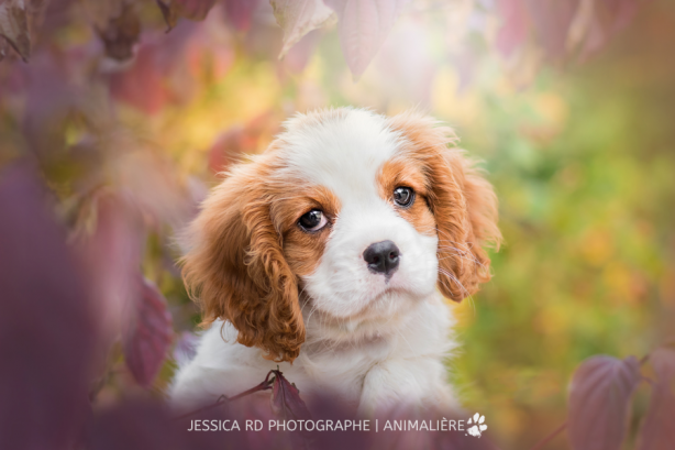 Photo de chiot dunkerque cavalier king charles